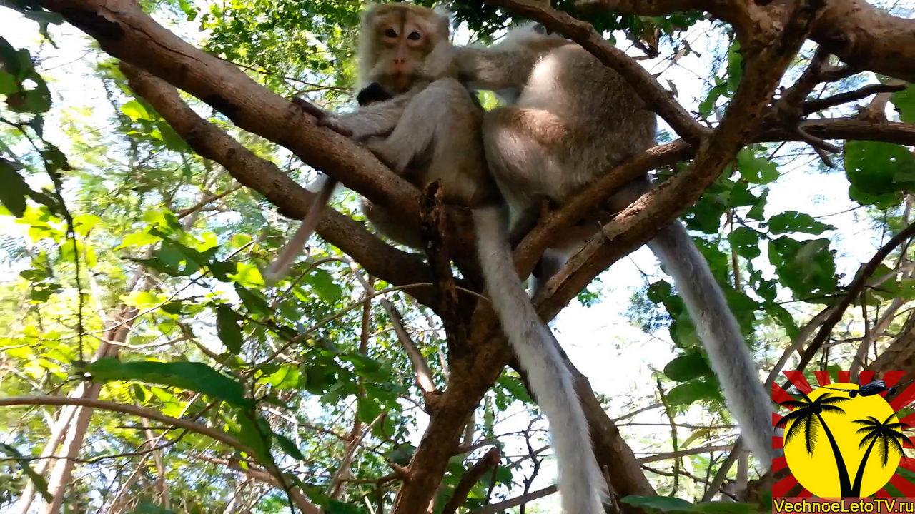 Ко-Лан-обезьяны