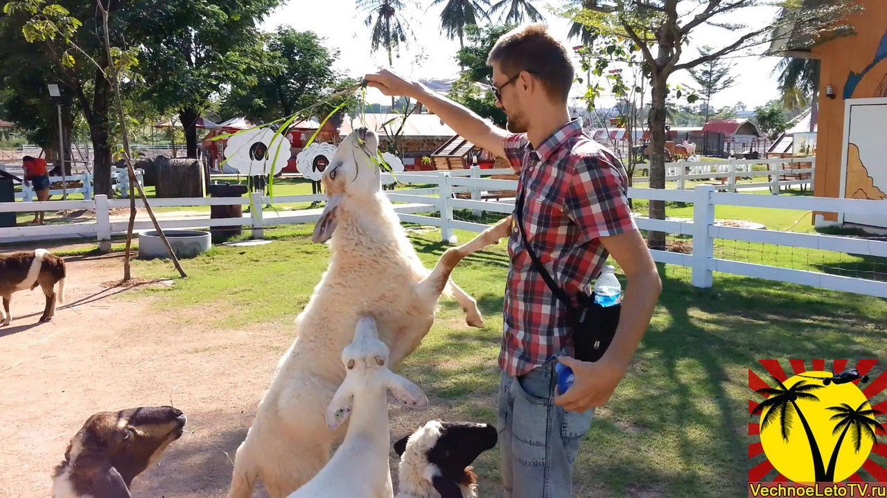Кормление-овец-Pattaya-Sheep-Farm