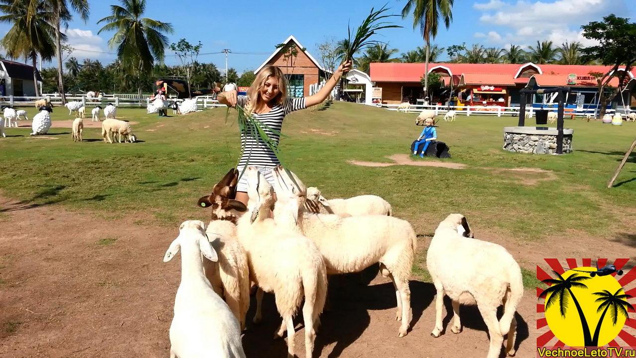 Кормление-овечек
