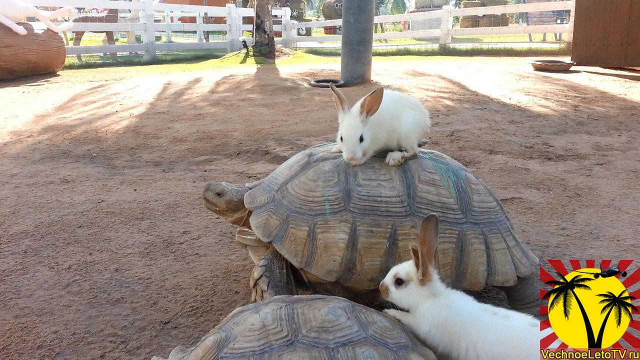 Кролики-на-черепахе