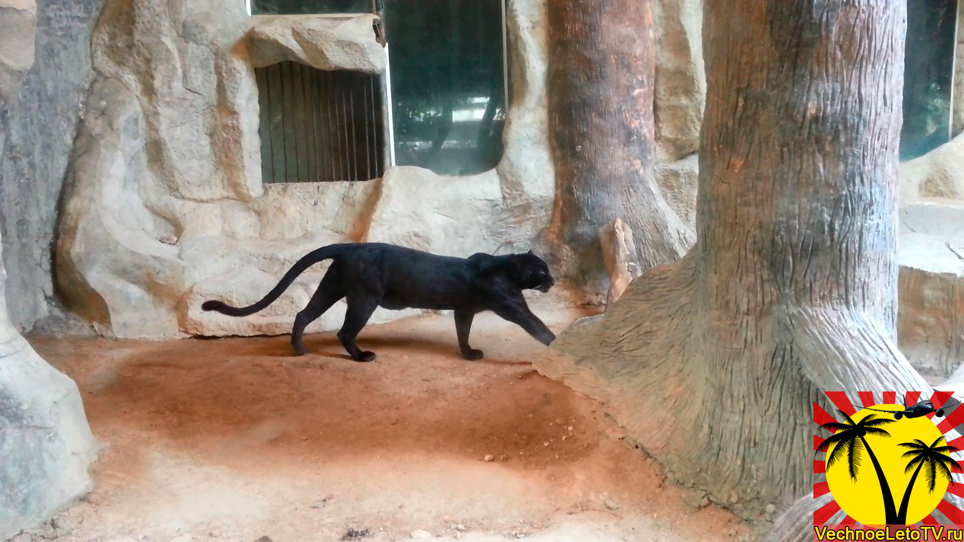 Чёрная-пантера-в-зоопарке