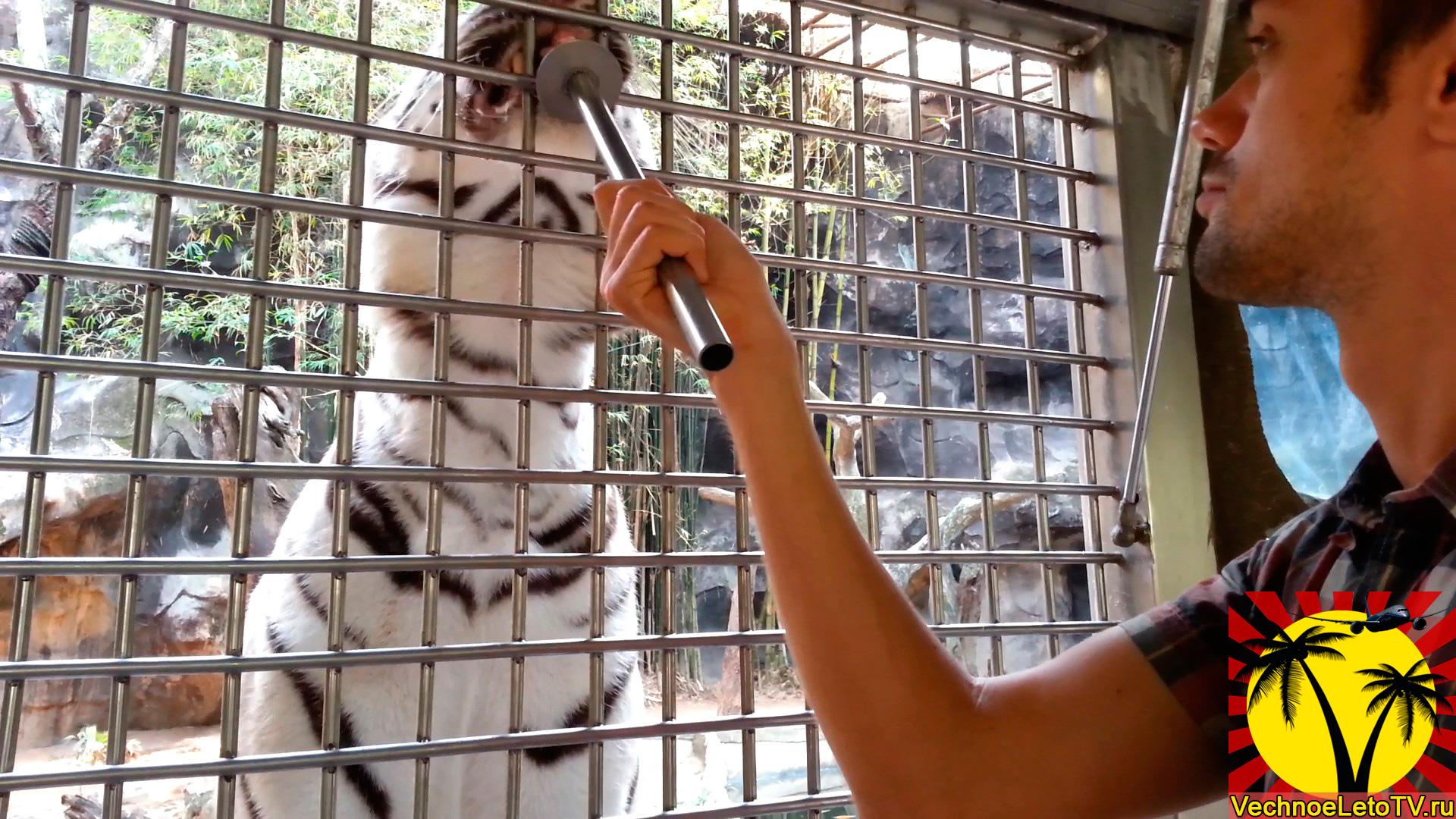 Кормление-тигра-в-зоопарке-Кхао-Кхео