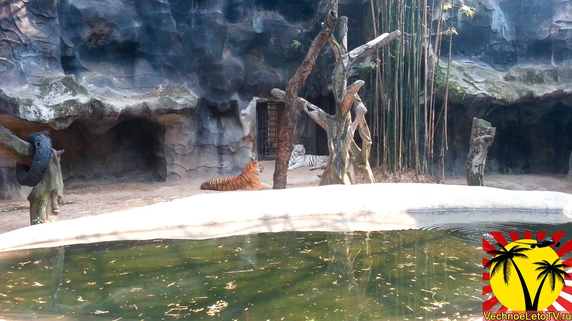 Тигры-в-зоопарке-Тайланда