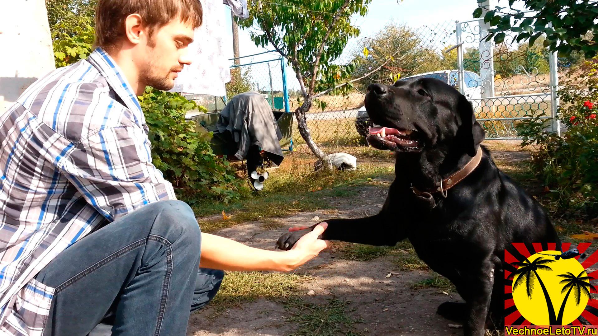 Собака-лабрадор