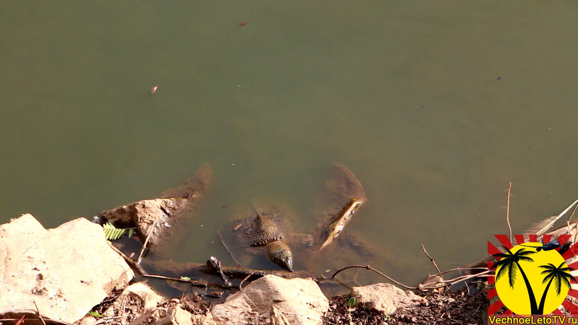 Черепахи-водные