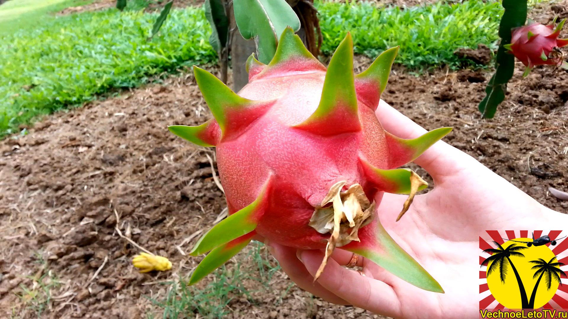 Как-растут-экзотические-фрукты