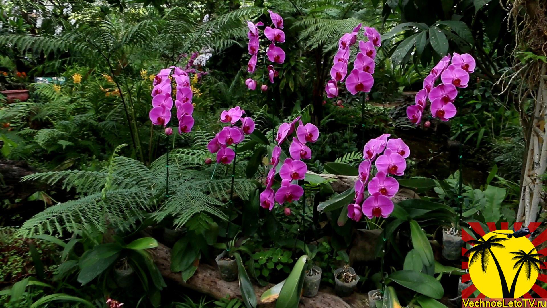 Орхидеи-в-Тайланде