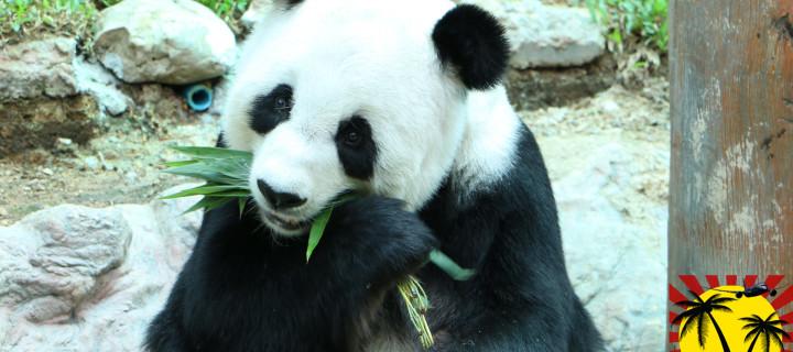 Зоопарк в Чианг Мае – единственные панды в Тайланде