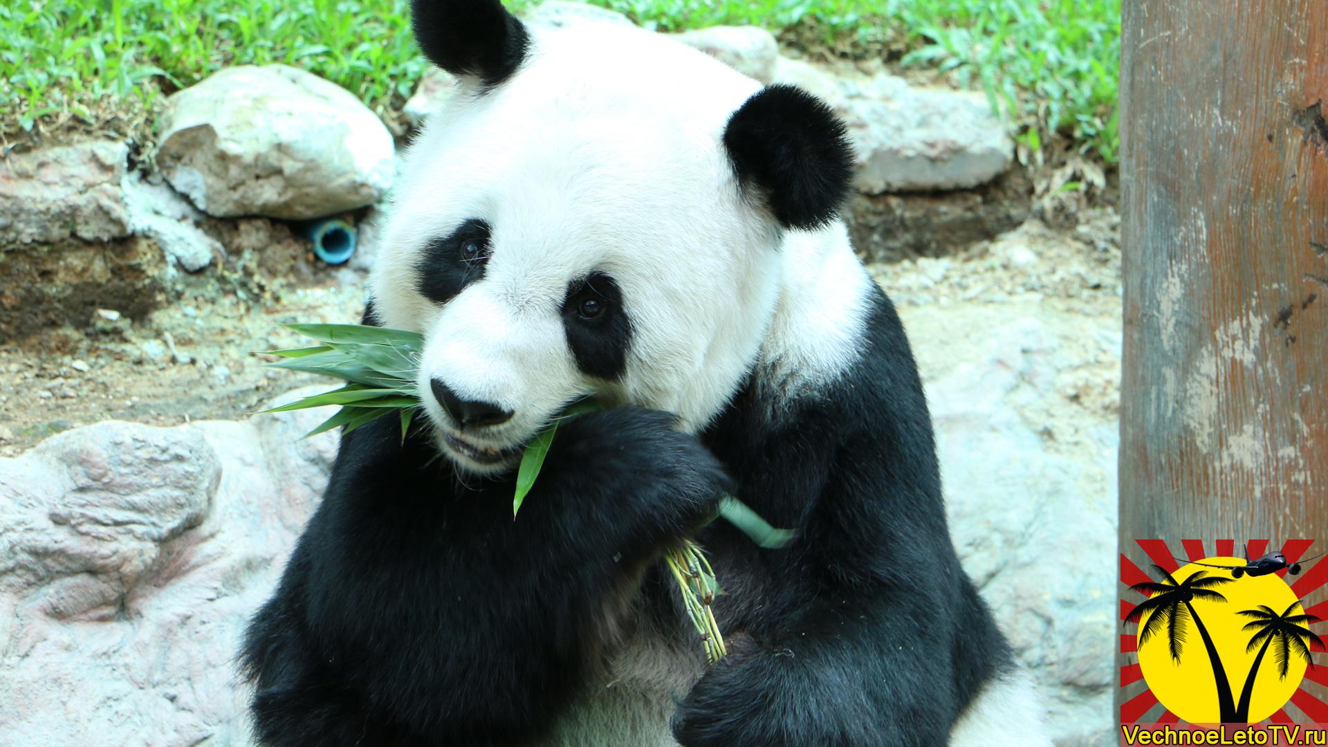 Редкие-панды