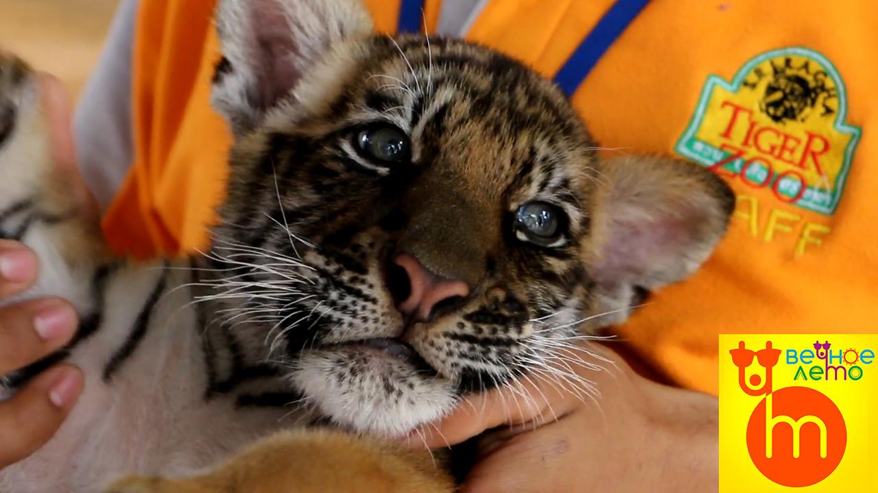 Тигр в зоопарке Паттайи