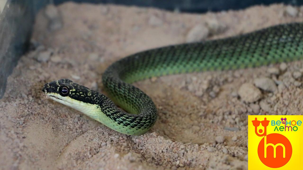 Шоу-змей-Таиланд-Паттайя