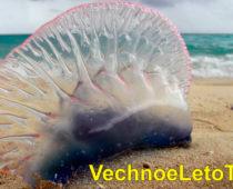 Медузы на Пхукете — стоит ли их бояться, обстановка сейчас